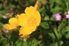 Ranunculus (Buttercup) (1)