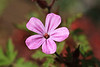 Monhegan Island flowers (4)