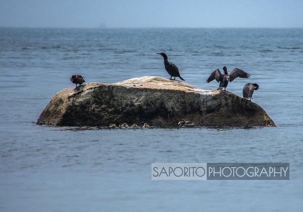 Cormorants, Ducks and Ducklings