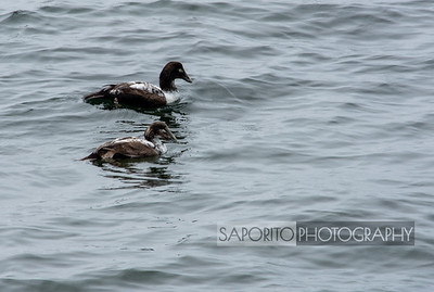 Sea Ducks