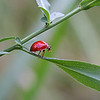 Dancing Lady Bug