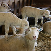 """Hey Ma, I'm King of the mountain ""<br /> Spring Lambs at Duclos sheep farm , Weybridge, VT"