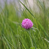 Red Clover<br /> VT State flower