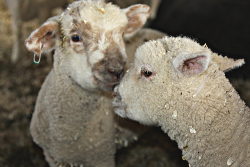 """1st lamb """"What do you think she's doing with that black thing on her face ?""""<br /> 2nd Lamb """"I think we should keep our distance """""""