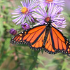 Monarch butterfly on Asters  ( lens courtesy of E.J. Elithorpe- thank you , Eli !!! )