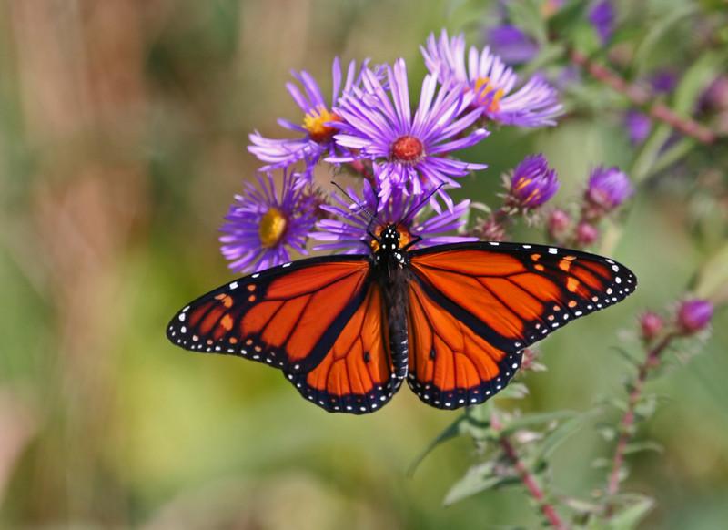 Monarch Butterfly in Fall