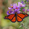 Monarch Butterfly in Fall