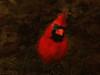 Shining Through (Northern Male Cardinal)