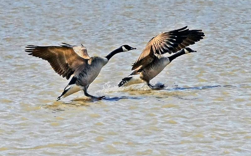 Canada Geese<br /> Dead Creek, Addison , VT
