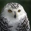 Snowy Owl <br /> Quechee, VT