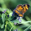 Unknown Butterfly on Loose Strife