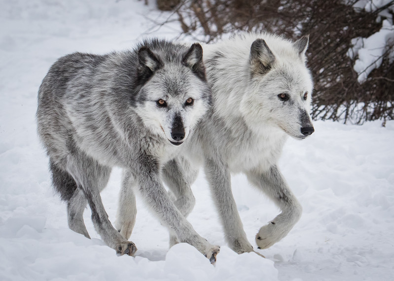 Grey Wolves Running