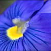 Macro of a blue pansy with water drop