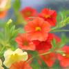 Petunia profusion