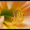 Apricot Lily Macro