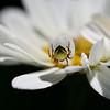 Tiny Spider on Shasta Daisy