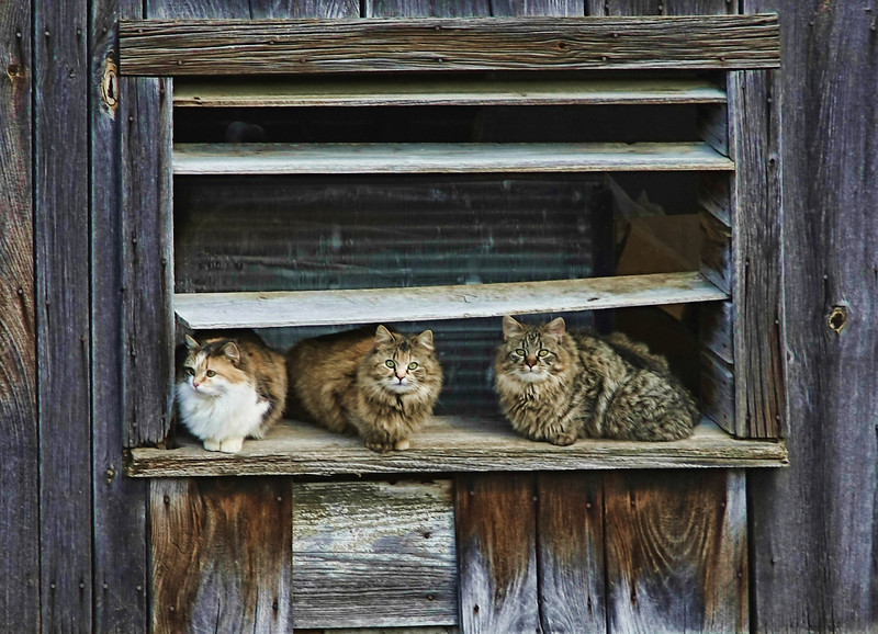 The Barn Squad<br /> These pretty kitties appeared one by one as I was photographing the barn- curious !