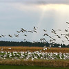 Snow Geese At Dead Creek<br /> Addison, VT