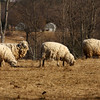 The Source of The Wool !<br /> Near Brandon VT-they have not been sheared for quite awhile !