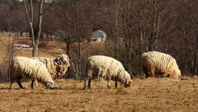 Wooly sheep in Feb. field. Brandon , VT