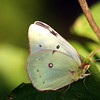 Pink Edged Sulpher Butterfly