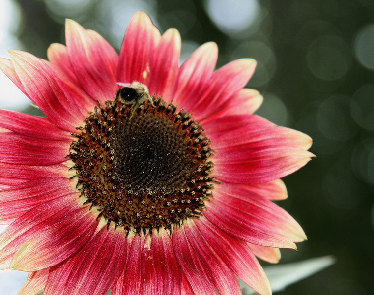 Jane's Sunflower