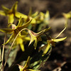 Trout lilies<br /> (wild flower in VT)