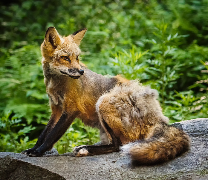 Fox Stretching on Rock