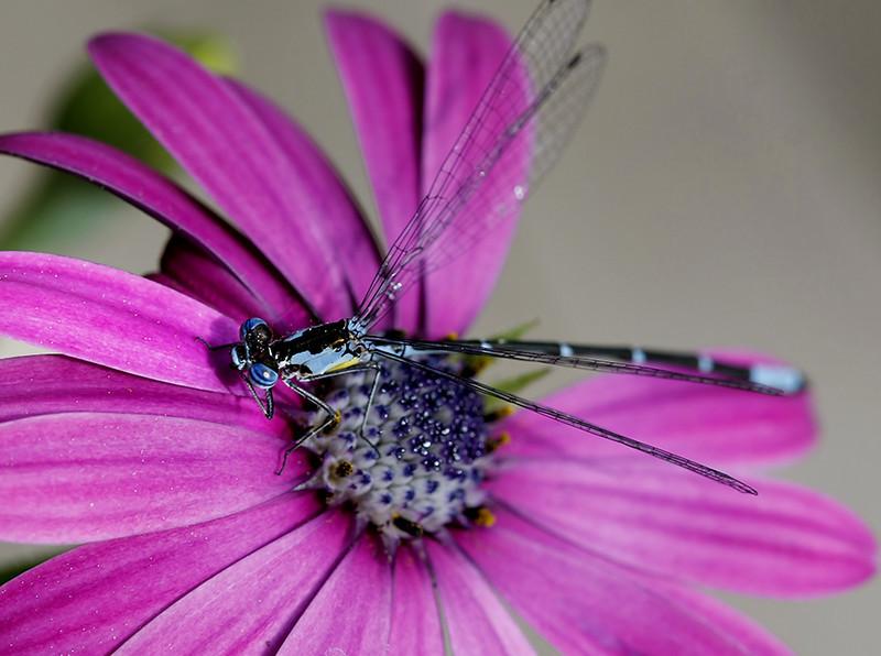 Blue Damsel on African daisy<br /> My garden /Middlebury VT