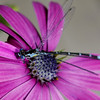 Blue Damsel on African daisy<br /> My garden /Middlebury VT
