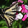 Eastern Swallowtail On Phlox