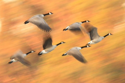 Canada Geese ~ accidental motion blur, but I like it.