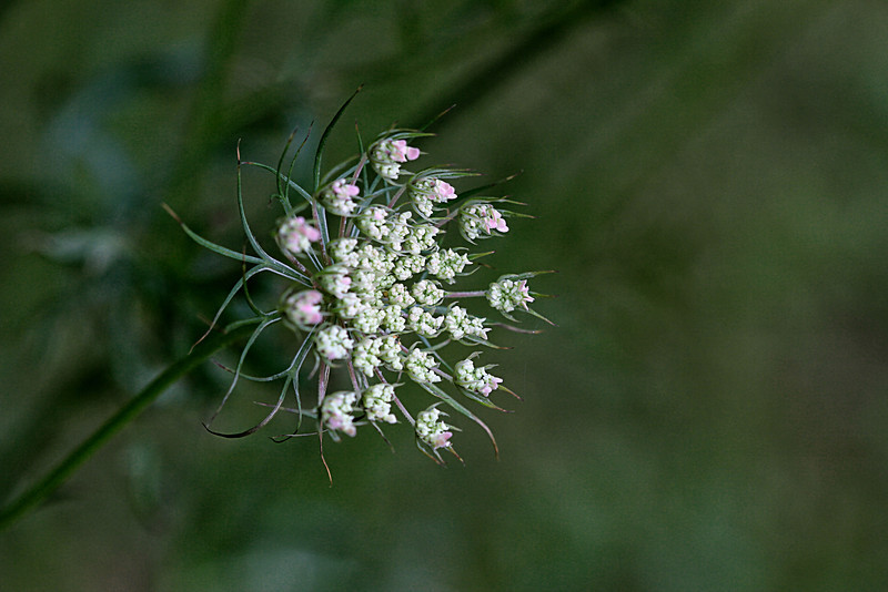 Queen Ann's lace beginning