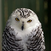 Snowy Owl at the VINS center in Queechee, VT