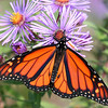 Monarch Butterfly on Fall Asters