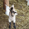 Wales Goat farm , Weybridge VT
