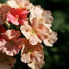 Apricot Verbena