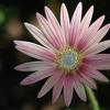 Arctodis daisy