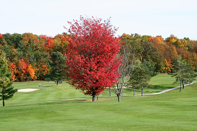 Red Maple On Golf Course Middlebury, VT