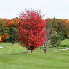 Red Maple On Golf Course<br /> Middlebury, VT