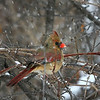 Mrs. Cardinal during a winter storm -Jan. 28<br /> Canon 70-200 f4 L