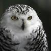 Snowy owl <br /> VINS<br /> Queechee, VT