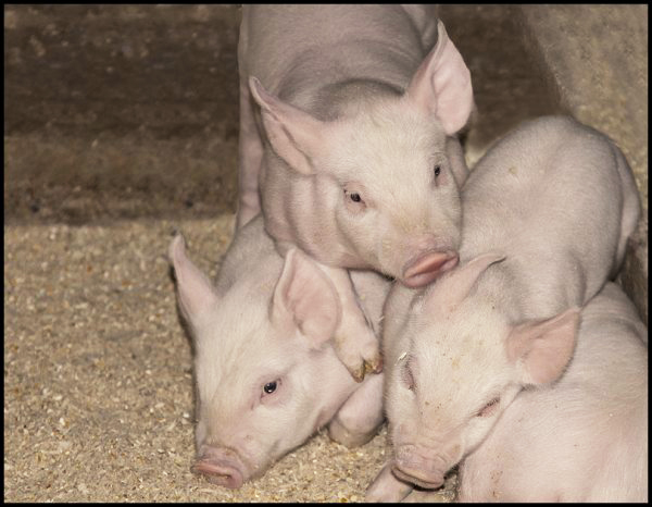 Piglets Playing