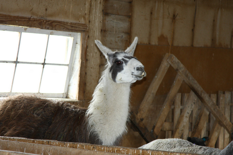 Llama watches over the flock