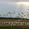 Snow Geese At dead Creek