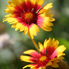 Gaillardia-Paintbrush Flower