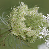 Queen Ann's lace going to seed