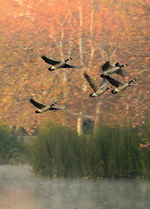 Canada Geese ~ Autumn sunrise lift-off