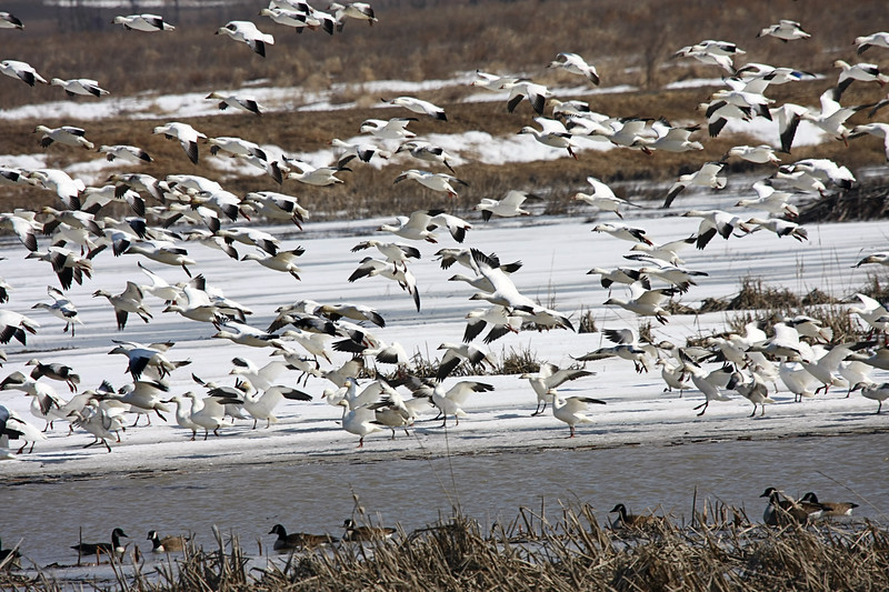 Snow Geese, Spring Migration