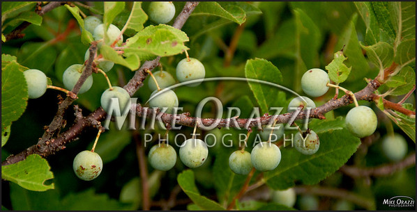 Some cherries on the Pilgrim Spring Trail at the Cape Cod National Seashore.